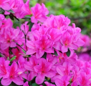 Everything's Coming Up Roses: 10 Popular Spring Flowers image 11