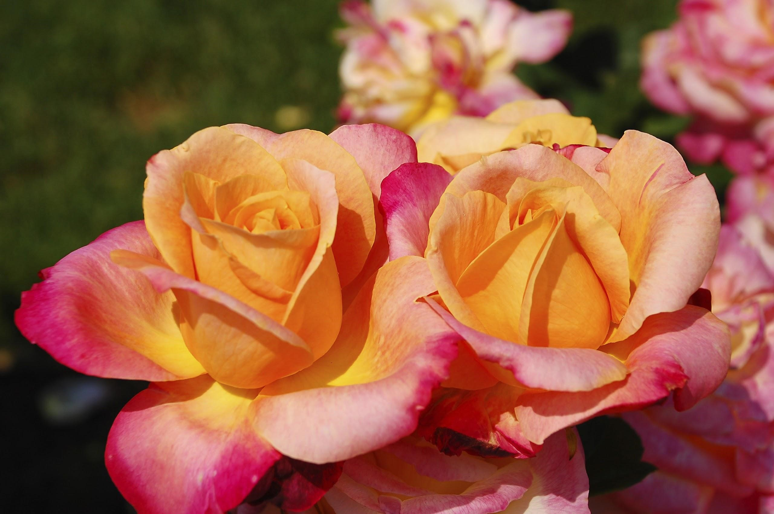 Diferentes tipos de rosas - Nuestro jardín de rosas - Extensión de la Universidad de Illinois