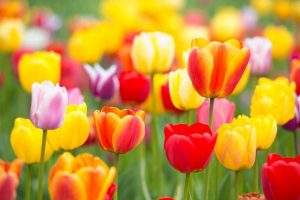 Everything's Coming Up Roses: 10 Popular Spring Flowers image 5